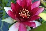 kasteeltuin-007.jpg Nymphaea Attaction\'\'
